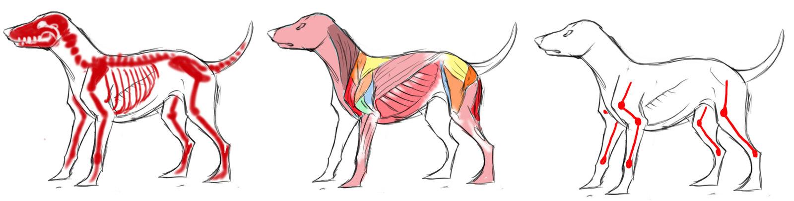Lujo La Fisiología Y La Anatomía Del Perro Colección de Imágenes ...